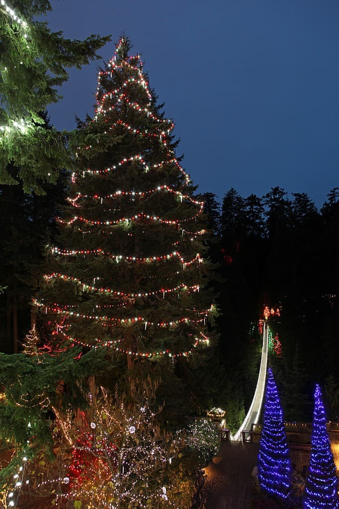 World's Tallest Living Christmas Tree (K  Tregillas)