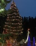 World's Largest Living Christmas Tree