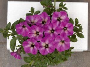 PC Fortunia Star Lavender