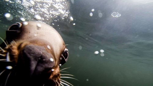 Come Nose to Snout with Steller Sea Lions @ Vancouver Aquarium's New Steller Bay Exhibit